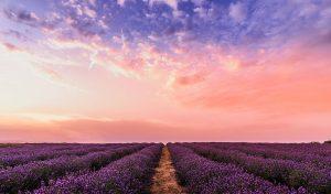 Purple sky over a lavender field